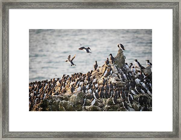 Framed Print featuring the photograph Guillemot's On Stack Rocks by Elliott Coleman