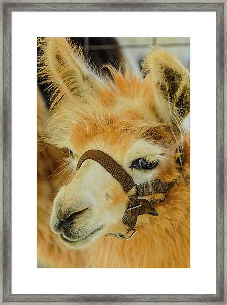 Happy Alpaca Framed Print