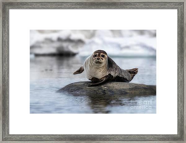 Harbour Seal On A Rock In Svalbard Framed Print