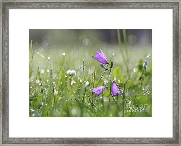 Harebells And Water Drops Framed Print