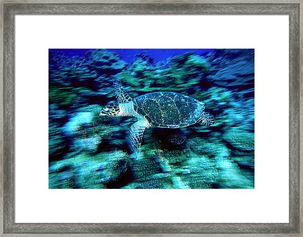 Hawksbill Sea Turtle, Maldives Framed Print by Stuart Westmorland