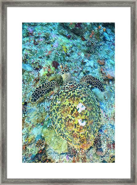 Hawksbill Sea Turtle, North Huvadhoo Framed Print by Stuart Westmorland