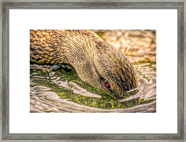 Head Dunking Duck Toned Framed Print