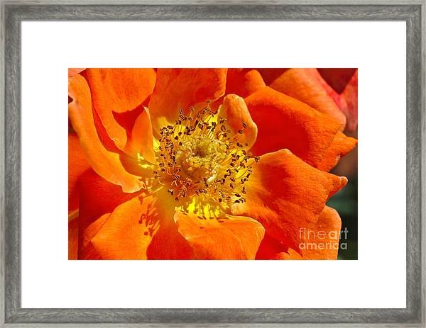 Heart Of The Orange Rose Framed Print