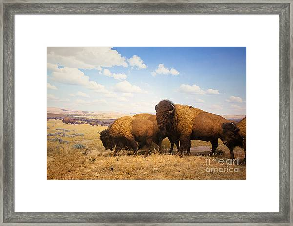 Herd Of Bison Framed Print
