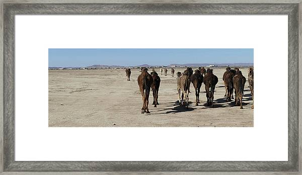 Herd Of Camels Crossing The Highway Near  Rissani Framed Print