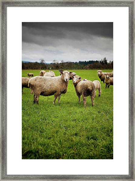 Herd Of Curious Sheep Looking At The Framed Print