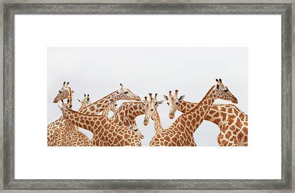 Herd Of Giraffe Framed Print