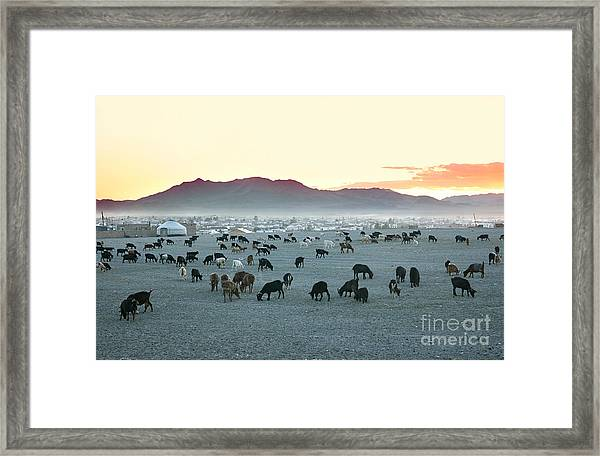 Herd Of Goats In The Sunset At Framed Print