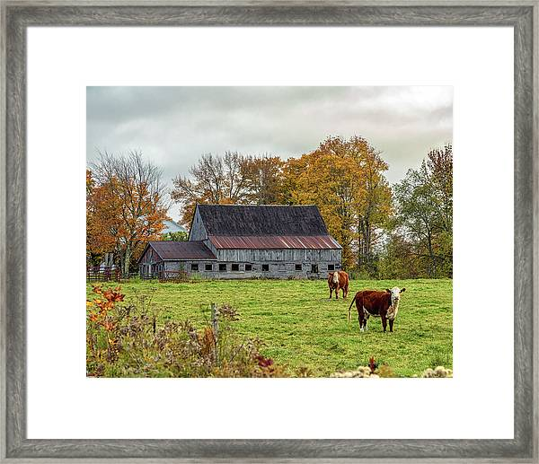 Herefords In Fall Framed Print