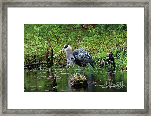 Heron In Beaver Pond Framed Print