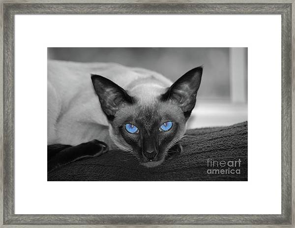 Hey There Blue Eyes - Siamese Cat Framed Print