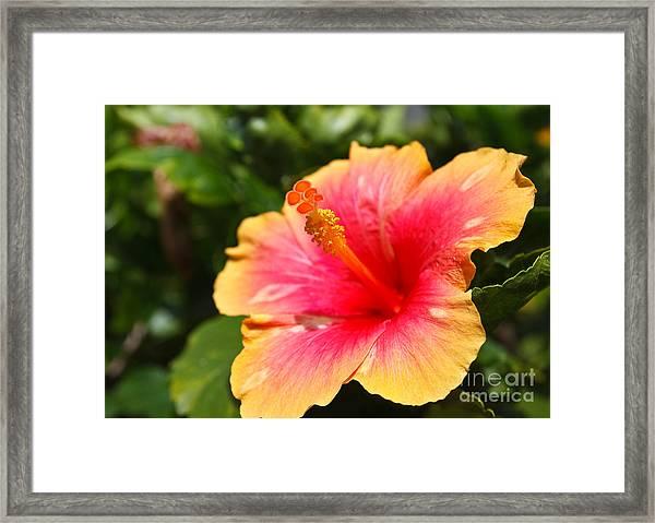 Hibiscus Flower Pollen Framed Print