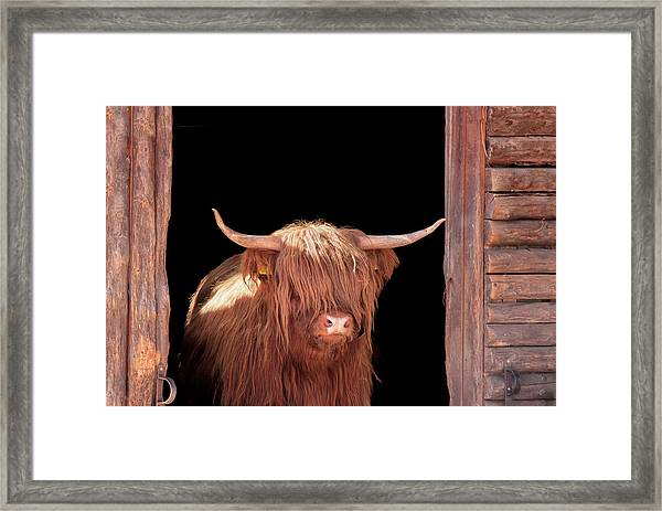 Highland Cattle In Barn Door Framed Print by Kerrick