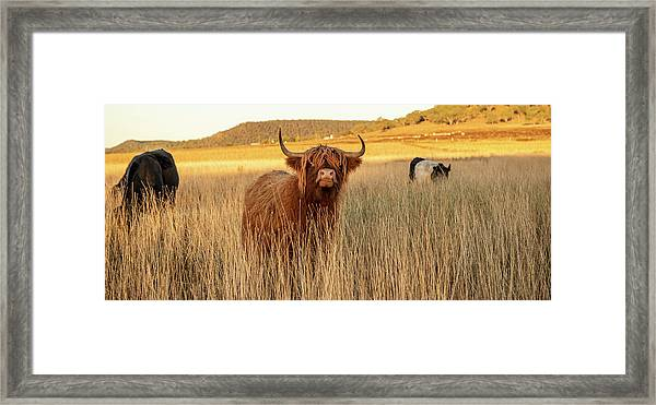 Framed Print featuring the photograph Highland Cows On The Farm by Rob D Imagery
