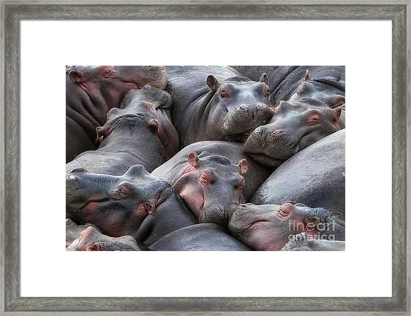 Hippo Pod Resting In The Mara River Framed Print