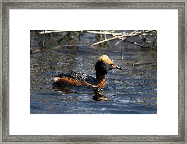 Horned Grebe 102713 Framed Print