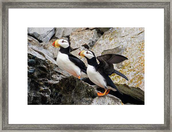 Horned Puffin Pair Framed Print