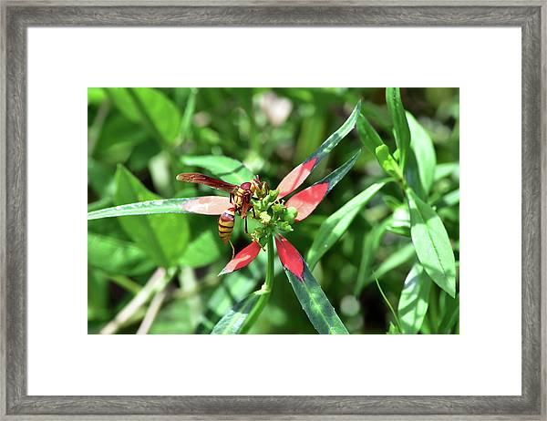 Hornet On Wild Poinsettia Framed Print