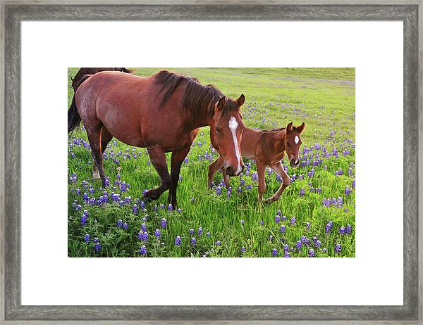 Horse On Bluebonnet Trail Framed Print by David Hensley