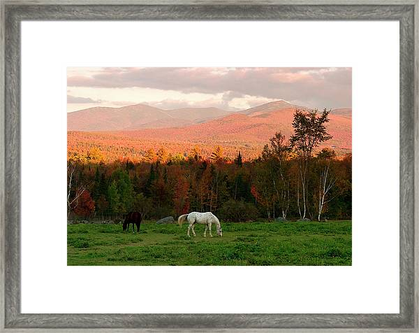 Horses Grazing During The New England Framed Print by Myloupe/uig