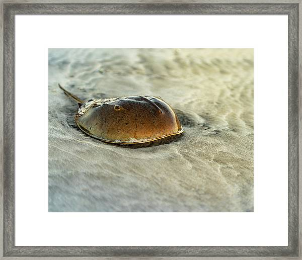 Framed Print featuring the photograph Horseshoe Crab On The Beach by William Dickman