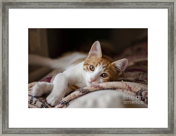 House Cat Red And White Poses For The Framed Print