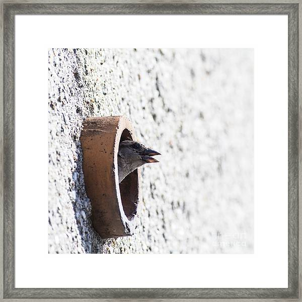 House Sparrow Head Sticking From The Framed Print