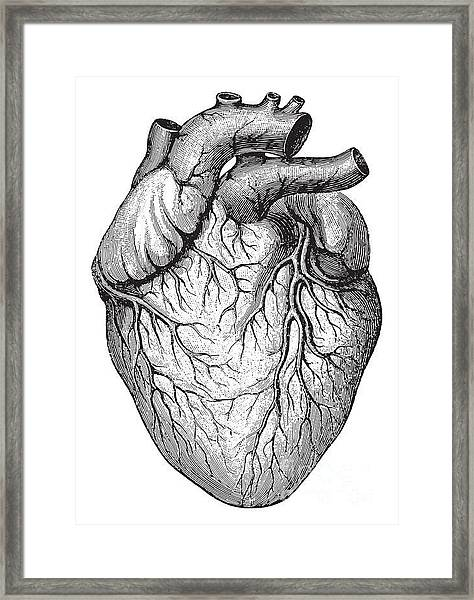 Human Heart  Vintage Illustrations From Framed Print