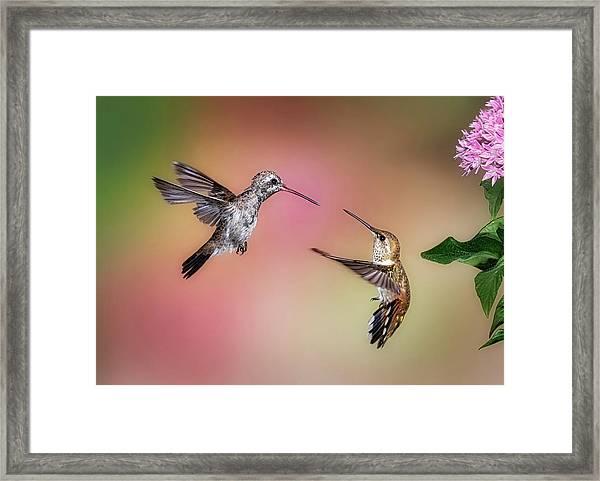 Hummingbird Battle Framed Print