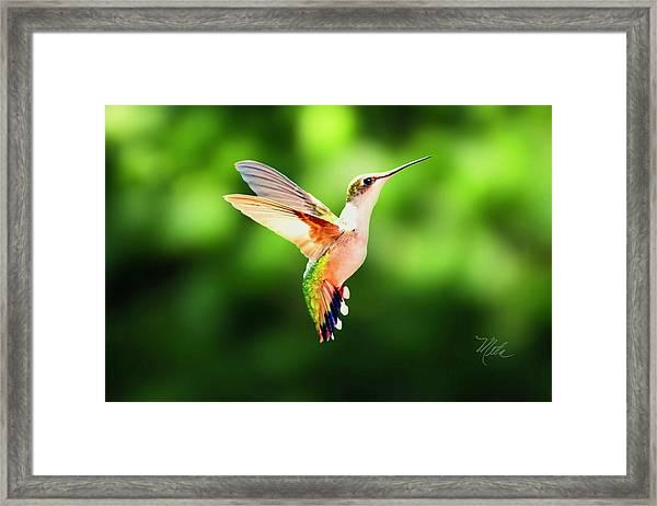 Hummingbird Hovering Framed Print