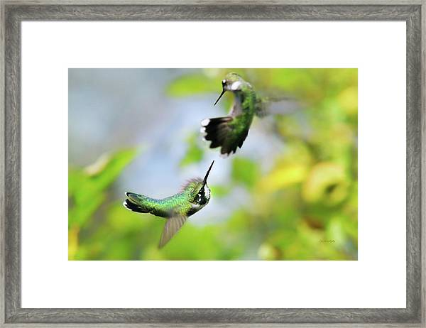 Hummingbirds Ensuing Battle Framed Print
