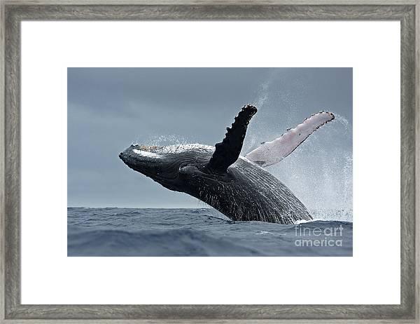 Humpback Whale, Megaptera Novaeangliae Framed Print