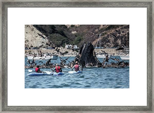 Humpbacks In Avila Harbor Framed Print