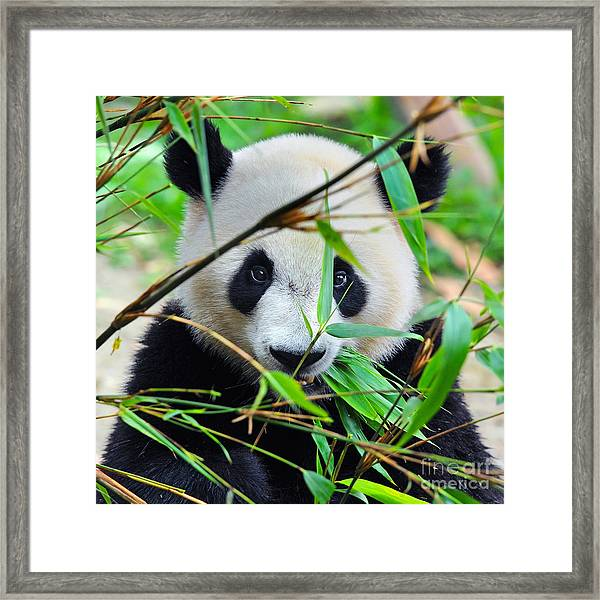 Hungry Giant Panda Bear Eating Bamboo Framed Print