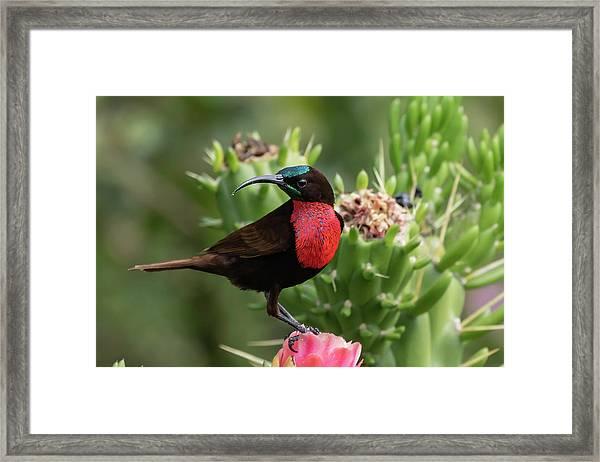 Hunter's Sunbird Framed Print