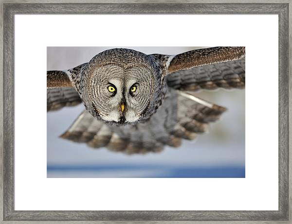 Hunting Great Grey Owl Strix Nebulosa Framed Print