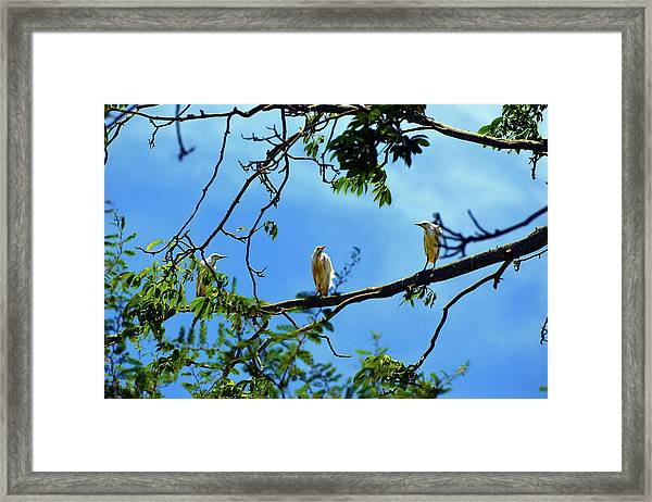 Ibis Perch Framed Print