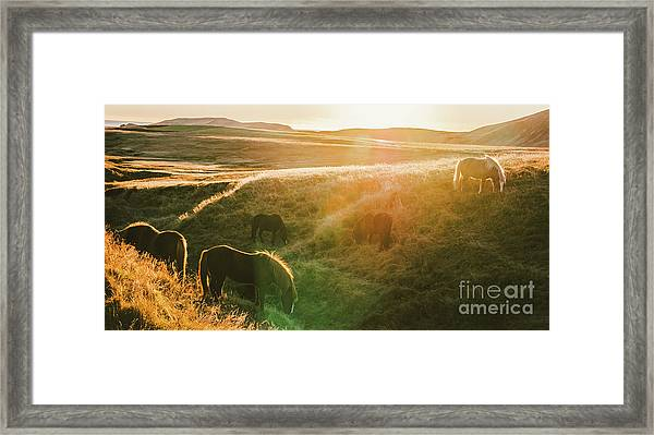 Icelandic Landscapes, Sunset In A Meadow With Horses Grazing  Ba Framed Print