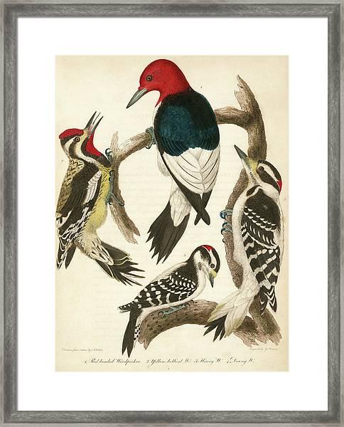 1. Red-headed Woodpecker. 2. Yellow-bellied Woodpecker. 3. Hairy Woodpecker. 4. Downy Woodpecker. Framed Print