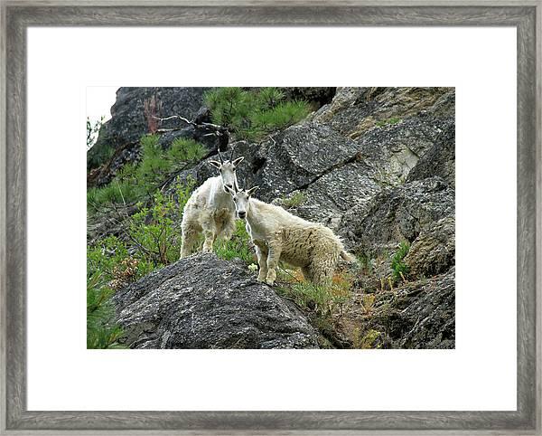 Idaho Mountain Goats Framed Print