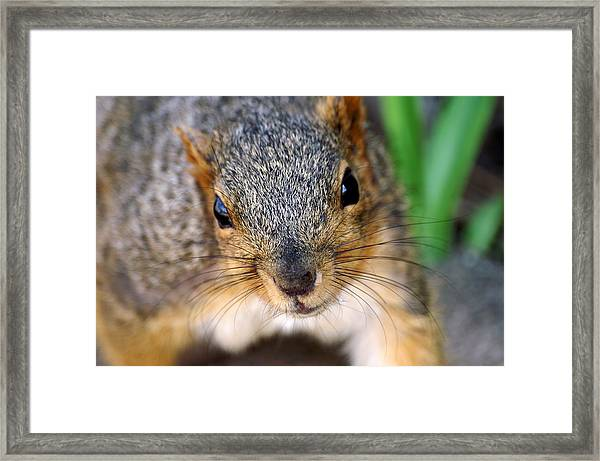 In Your Face Fox Squirrel Framed Print