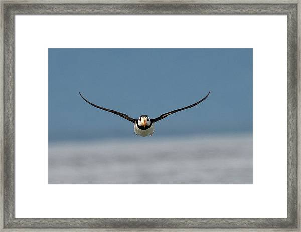 Incoming Puffin Framed Print