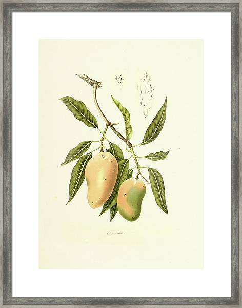 Indian Mango | Antique Plant Framed Print