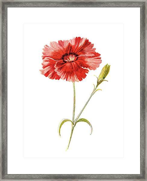 Indian Pink Flower Framed Print