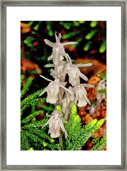 Indian Pipes On Club Moss Framed Print