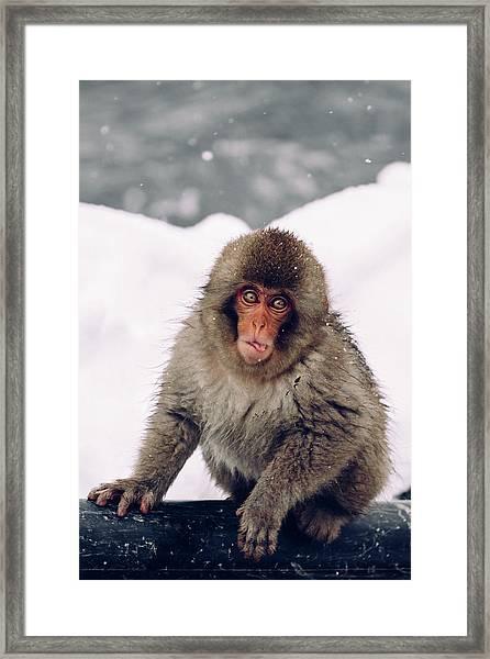 Infant Japanese Snow Monkey Framed Print