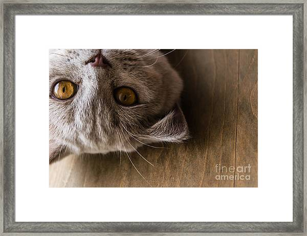 Interests Of The British Cat Framed Print