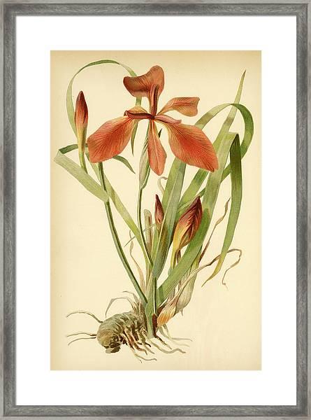 Iris Cuprea Copper Iris.  Framed Print