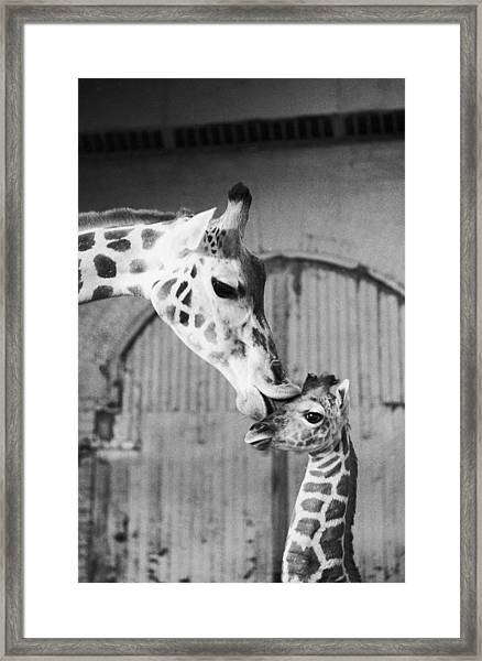 It Isnt Necking Its Mother Love..cleo Framed Print